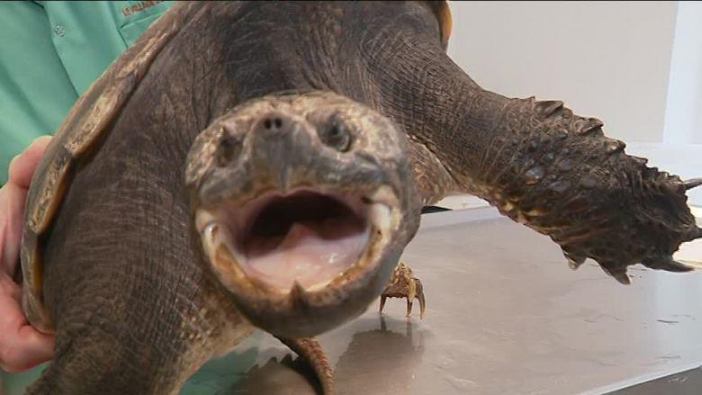Vous avez trouvé une tortue exotique dans votre jardin? Attention, il peut s'agir d'une espèce dangereuse