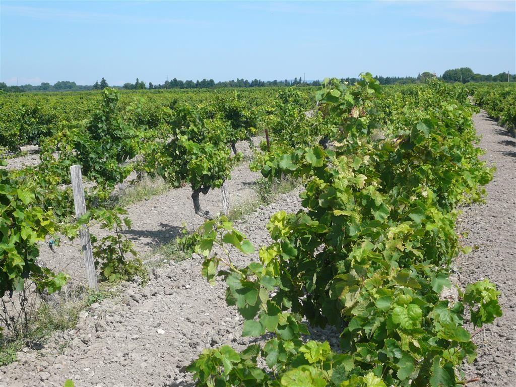 Parcelles de vigne de 54,4 ares en AOC Côtes du Rhône. Encépagement GRENACHE palissé. <br>(Photo non contractuelle)<br>